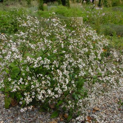 Aster divaricatus 'Eastern Star'  NEW - 1 Gal.