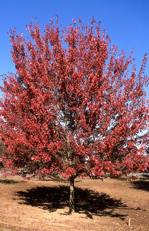 Acer rubrum 'Autumn Flame'-#7 Container<br />Autumn Flame Red Maple