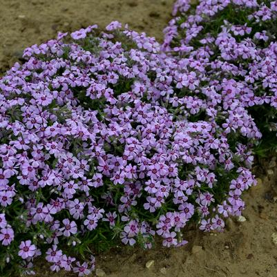 Phlox subulata 'Eye Shadow'  NEW - 1 Gal.