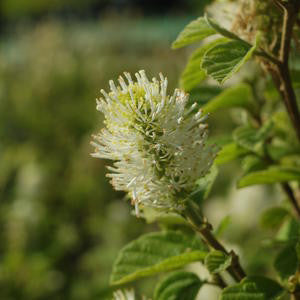 Fothergilla major 'Mt. Airy'-#3 Container<br />Mt. Airy Fothergilla