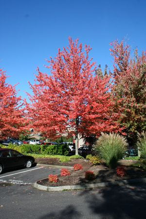 Acer rubrum 'Red Sunset'-#7 Container<br />Red Sunset Red Maple