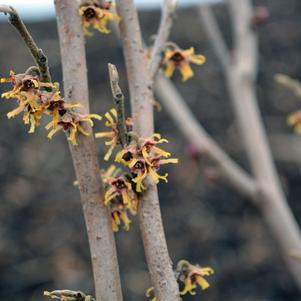 Hamamelis vernalis-#3 Container<br />Vernal Witchhazel
