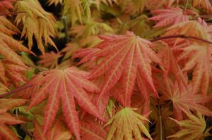 Acer shirasawanum 'Autumn Moon'-#3 Container<br />Autumn Moon Japanese Maple