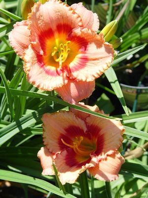 Hemerocallis 'Strawberry Candy'-#1 Container<br />Strawberry Candy Daylily