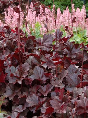 Heuchera 'Obsidian' - 8 In.