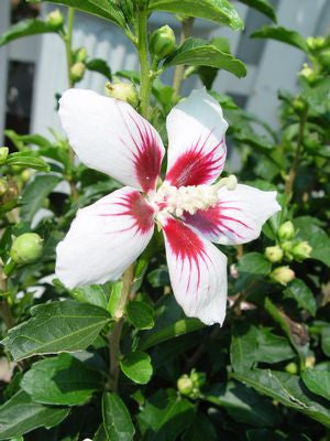 Hibiscus syriacus 'Lil' Kim' -#3 Container<br />Lil' Kim&#8482; Rose of Sharon