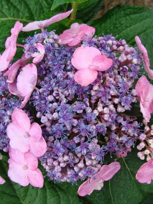 Hydrangea macrophylla 'Twist-N-Shout'-#2 Container<br />Twist-N-Shout Endless Summer Hydrangea