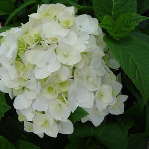 Hydrangea macrophylla 'Blushing Bride'-#3 Container<br />Blushing Bride Hydrangea