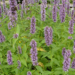 Agastache X 'Blue Fortune'-#2 Container<br />Blue Fortune Anise