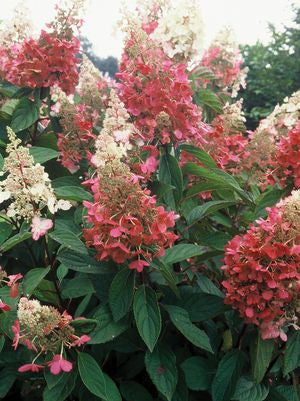 Hydrangea paniculata 'Pinky Winky'-#3 Container<br />Pinky Winky Panicle Hydrangea