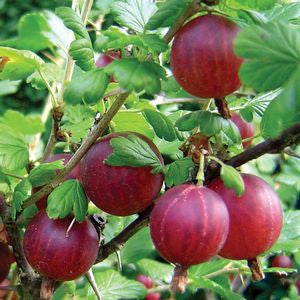 Ribes 'Hinnonmaki Red'-#2 Container<br />Gooseberry