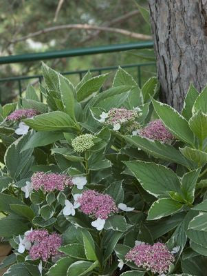 Hydrangea macrophylla 'Light O Day'-#3 Container<br />Light O Day Hydrangea