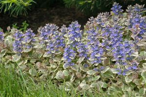 Ajuga reptans 'Burgundy Glow' - 3 In. 18/Tray