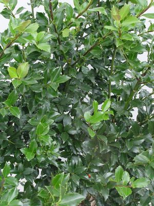 Ilex X meserveae 'Blue Maid'-#5 Container<br />Blue Maid Holly