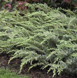 Juniperus communis 'Blueberry Delight'-#3 Container<br />Blueberry Delight Juniper