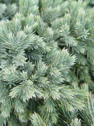 Juniperus squamata 'Blue Star'-#3 Container<br />Blue Star Juniper