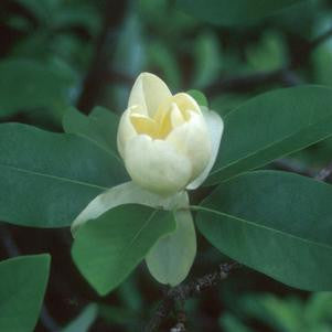 Magnolia virginiana 'Moonglow'-#7 Container<br />Moonglow Sweetbay Magnolia