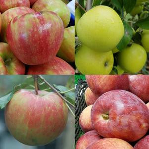 Malus '3 In 1 Cold Climate'-#7 Container<br />Malus 3-in-1 combo Apple