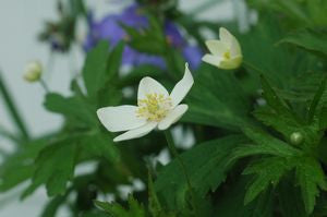 Anemone canadensis-#1 Container<br />Canadian Amenone, Windflower