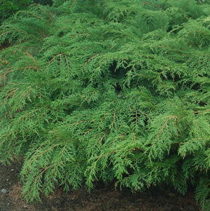 Microbiota decussata-#2 Container<br />Russian Cypress