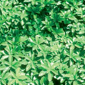 Pachysandra term. 'Green Carpet' - 3 In. 18/Tray