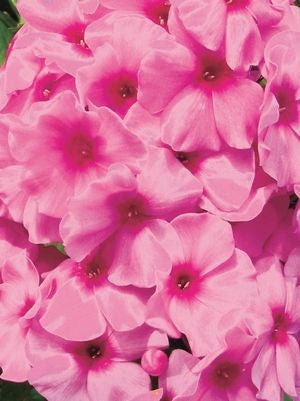 Phlox volcano 'Pink W/Red Eye'-#1 Container<br />Volcano? Pink with Red Eye Garden Phlox