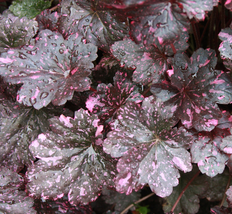 Heuchera 'Midnight Rose' - 8 Inch
