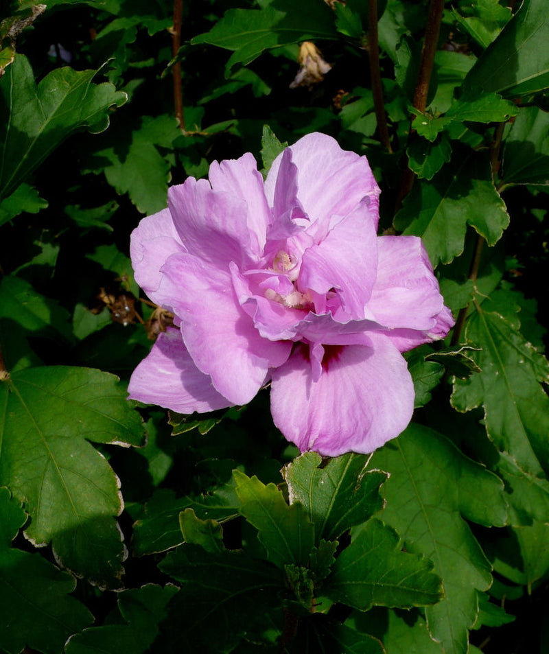 Hibiscus syriacus 'Ardens' - 7 Gal. Tree