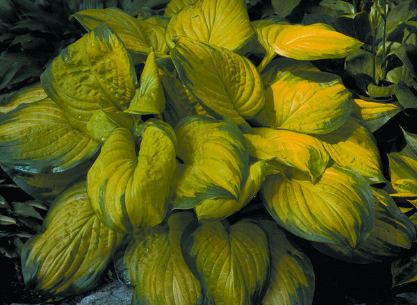 Hosta 'Stained Glass' - 8 Inch
