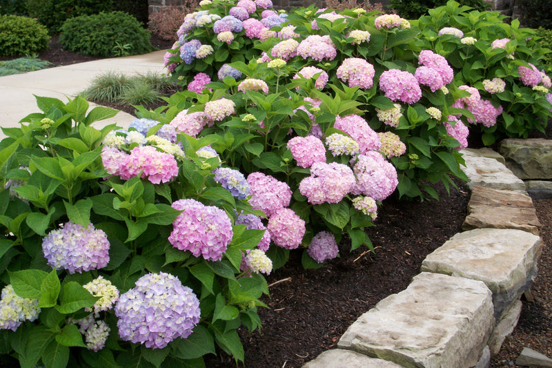 Hydrangea macrophylla 'Endless Summer' - 2 Gal.