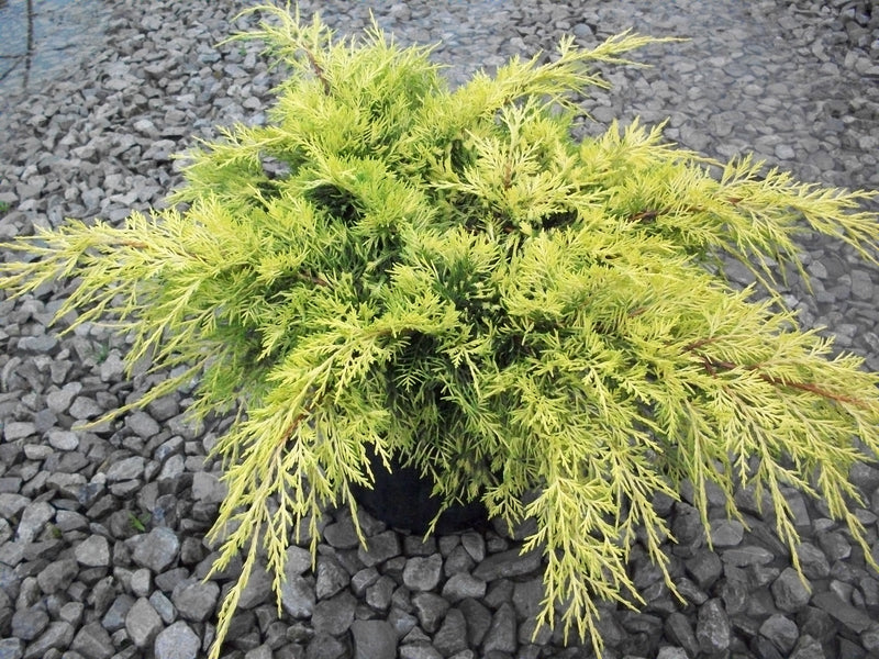 Juniper chinensis 'Gold Lace' - 3 Gal.