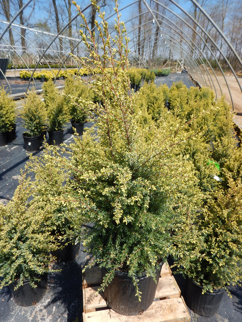 Juniperus communis 'Gold Cone' - 2 Gal.