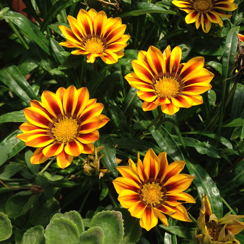 Gazania rigens 'New Day Red Stripe' - 4""
