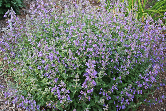 Nepeta faassenii 'Junior Walker' - 8 Inch