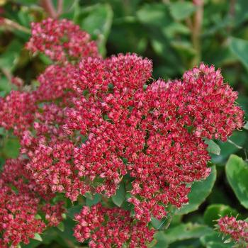 Sedum telephium 'Munstead Dark Red' - 2 Gal.