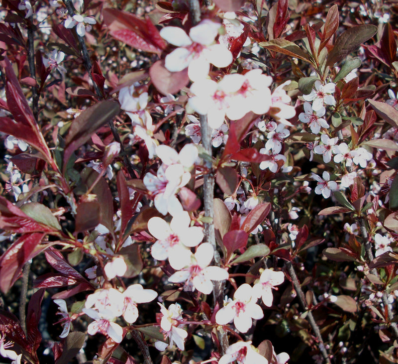 Prunus cistena - 7 Gal. Squat Pot