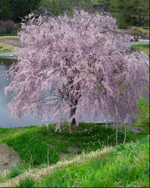 Prunus subhirtella 'Pink Snow Showers' - 7 Gal. Umbrella