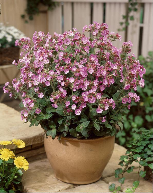 Silene 'Rolly's Favorite' - 8 Inch