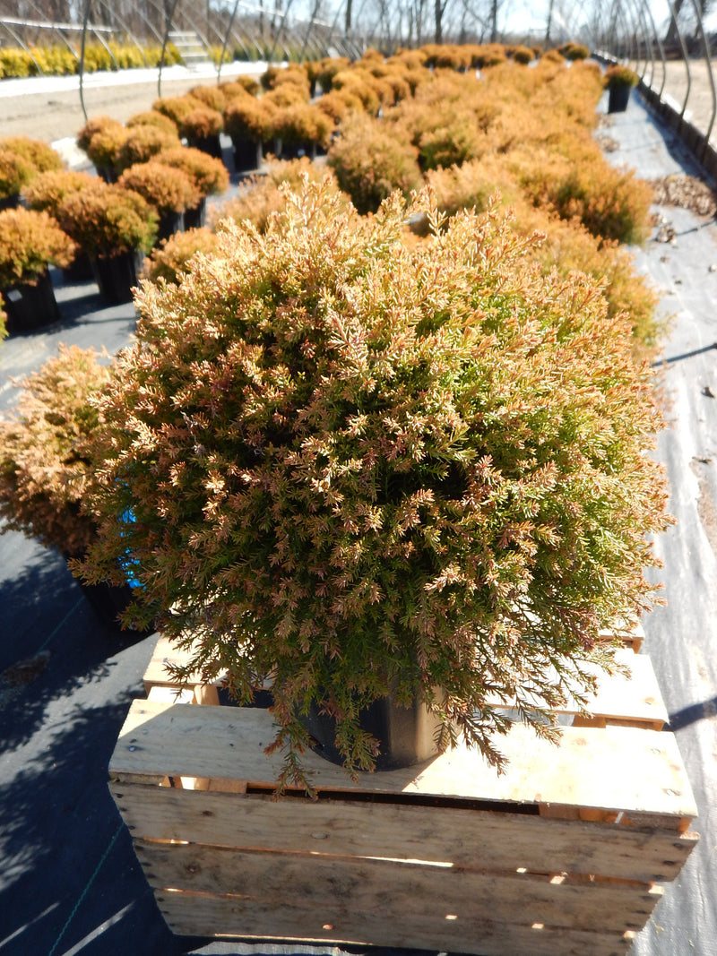 Thuja occidentalis 'Fire Chief' - 2 Gal.