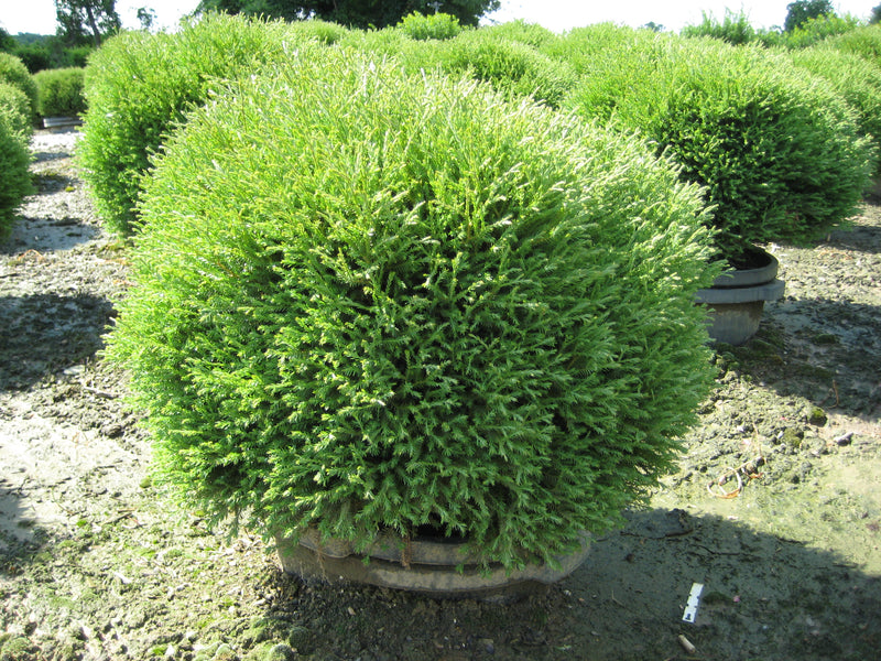 Thuja occidentalis 'Mr. Bowling Ball' - 3 Gal.