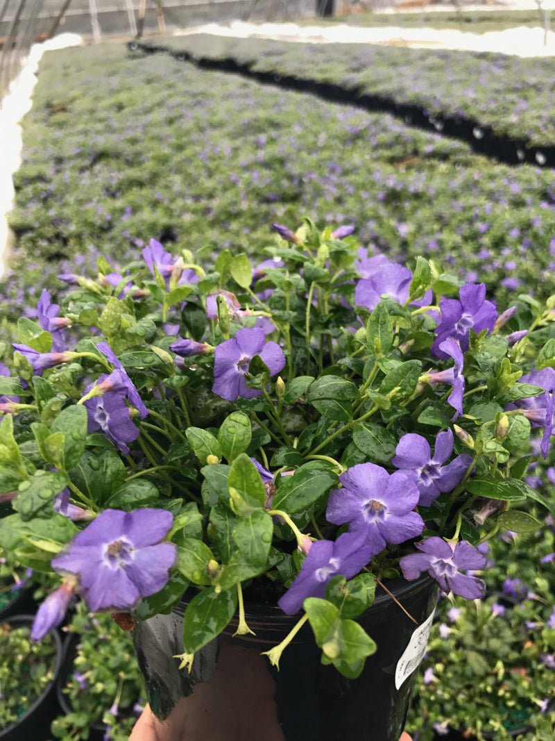 Vinca minor 'Bowles' - 1 Gal.