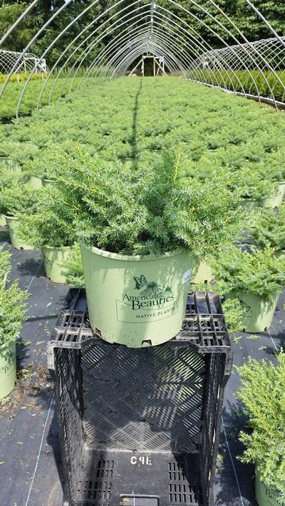 Juniperus communis 'Blueberry Delight' - 3 Gal. Crop Shot for 2019-31