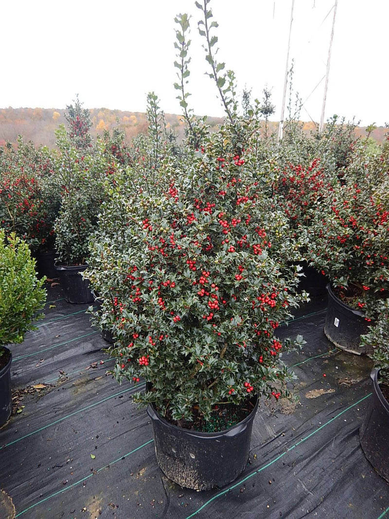Ilex X rutzan 'Red Beauty' - #5 Crop Shot for 2017-44