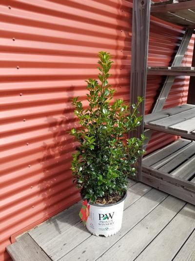 Ilex x meserveae Castle Spire®' - 3 Gal. Crop Shot for 2020-40