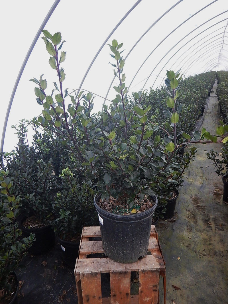 Ilex X meserveae 'Blue Prince' - #2 Crop Shot for 2017-48