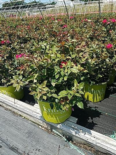 Rosa Knockout - 3 Gal. Crop Shot for 2020-26