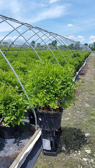 Clethra alnifolia - 5 Gal. Crop Shot for 2019-22