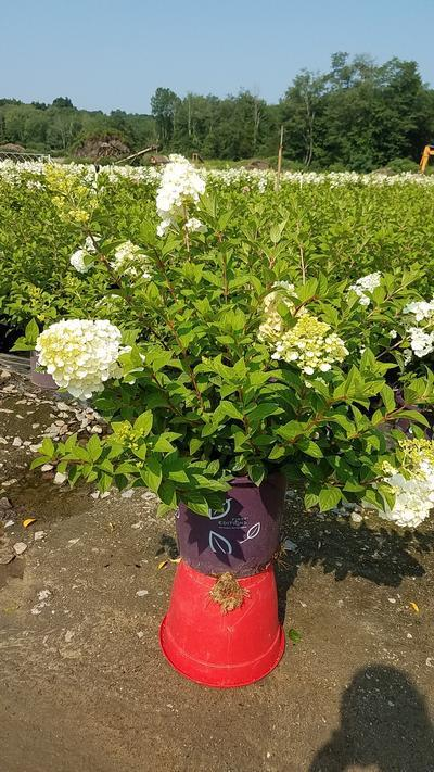 Hydrangea paniculata 'Strawberry Sundae' - #5 Crop Shot for 2018-33