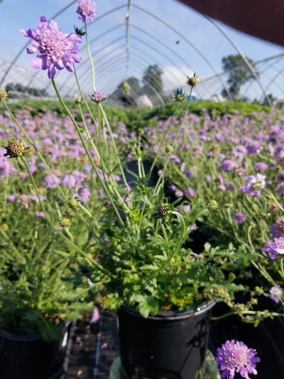 Scabiosa caucasica 'Butterfly Blue' - 1 Gal. Crop Shot for 2019-33
