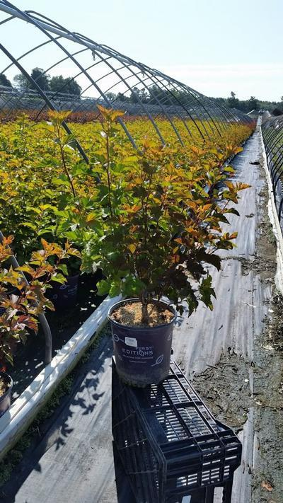 Physocarpus opulifolius 'Amber Jubilee™' - 2 Gal. Crop Shot for 2019-29
